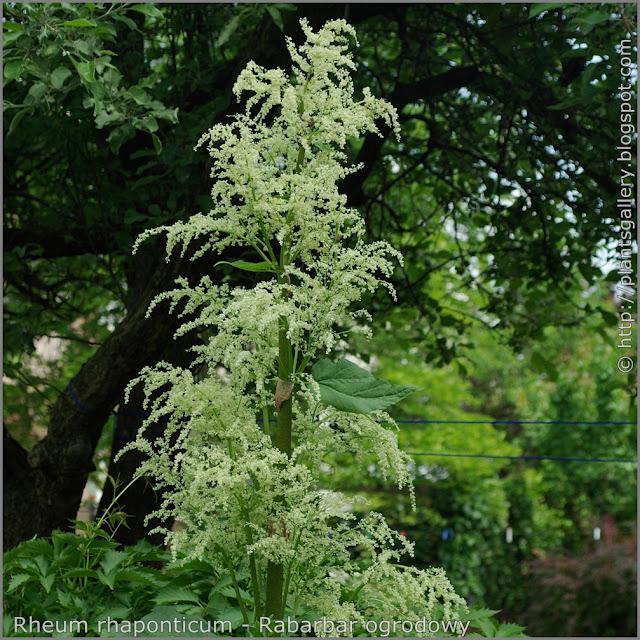 Rheum rhaponticum - Rabarbar ogrodowy kwiatostan