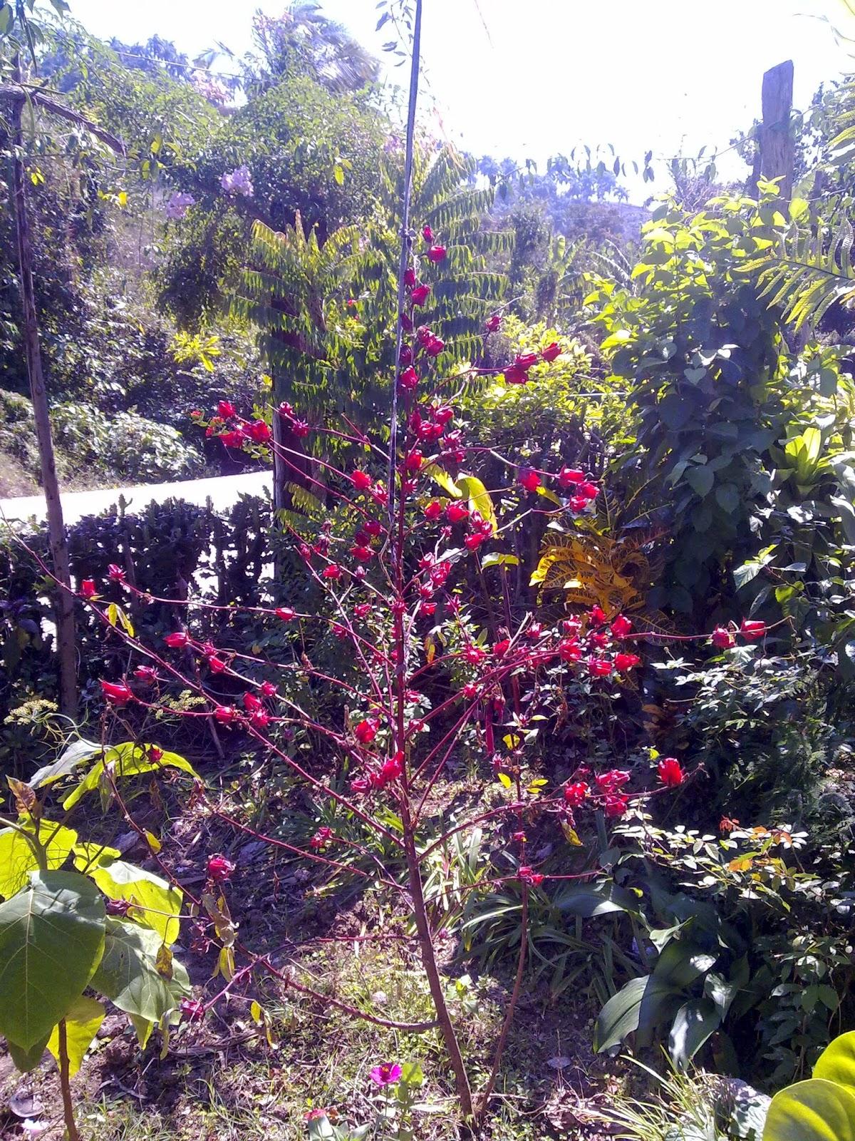 flor de jamaica agricultura