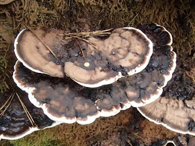 grzyby września, wrześniowe grzybobranie, grzyby w Krakowie, grzyby w miście, lakownica spłaszczona, Ganoderma applanatum