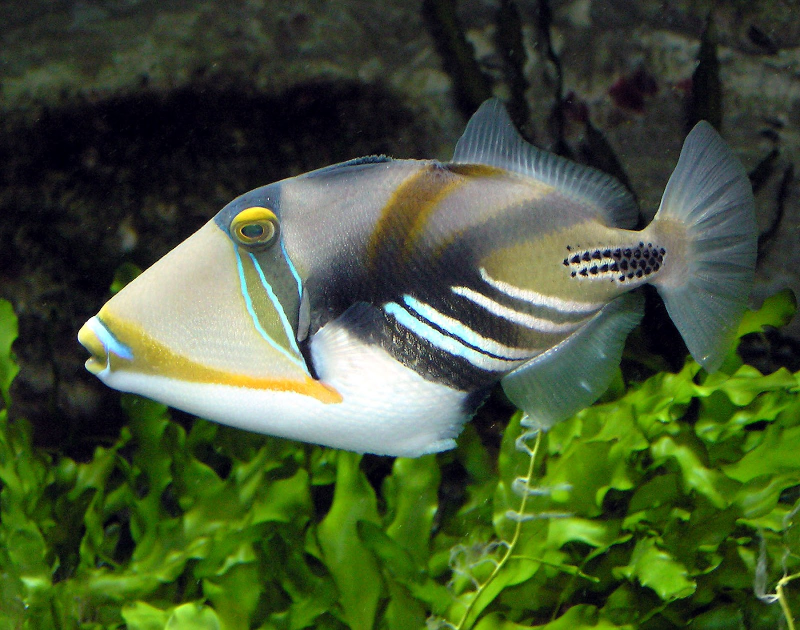 Funny pictures gallery most dangerous fish in the world for Fish species hawaii