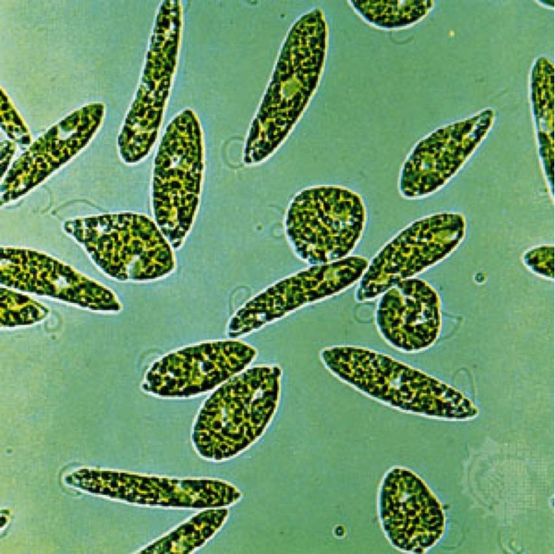 Traveling Small With A Nucleus  Euglena Gracilis  A Closer