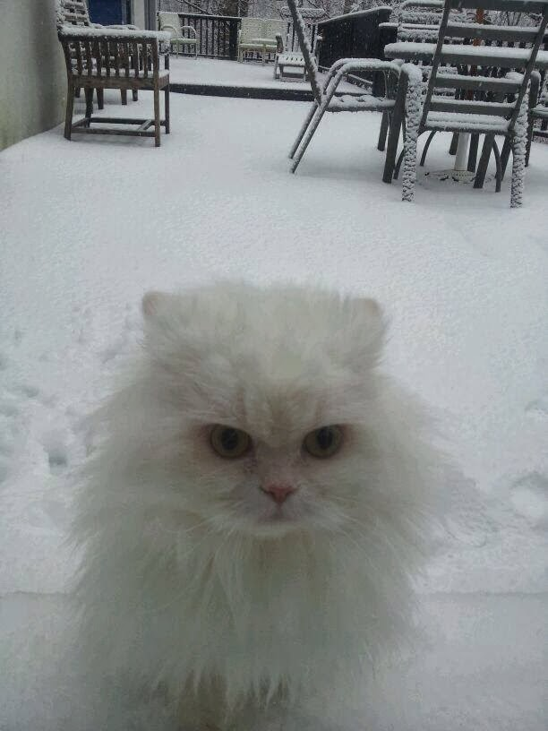 Funny cats - part 90 (40 pics + 10 gifs), cute white fluffy cat in the snow