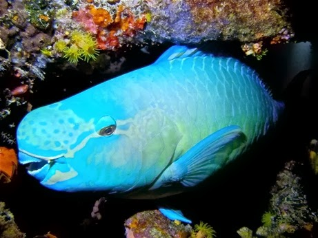 Blue parrot fish fishes world hd images free photos for Blue parrot fish
