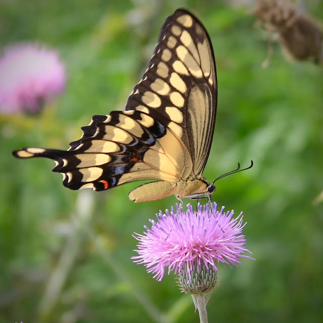 Giant Swallowtail Butterfly on Thistle