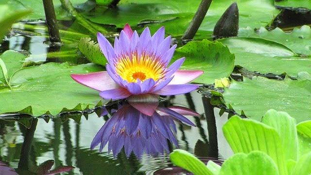 La flor de loto: relatos y poesías