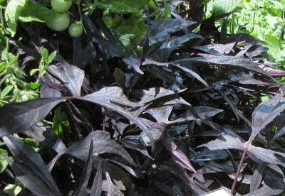 ipomoea sweet potato vine