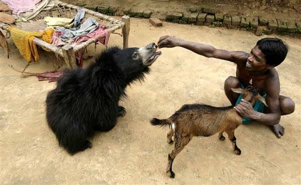 Sloth bear pet in India, feeds Buddu