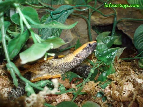 Platemys platycephala en el terrario