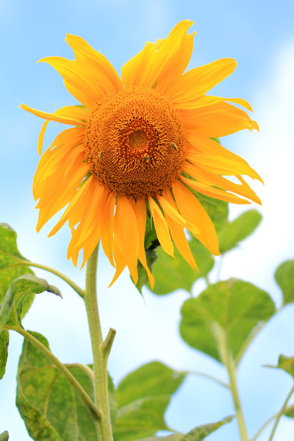 Sunflower Spectacle Photo
