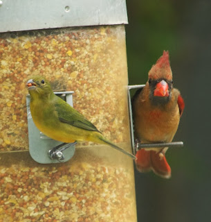 Painted Bunting (Passerina ciris) and Northern Cardinal (Cardinalis cardinalis)