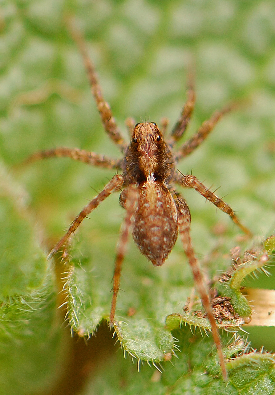 master naturalist in training: Wolf Spider~5mm, but they ...