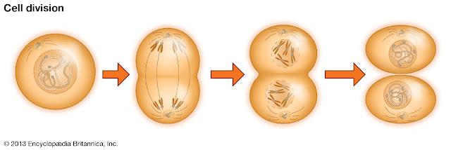 انقسام الخلية