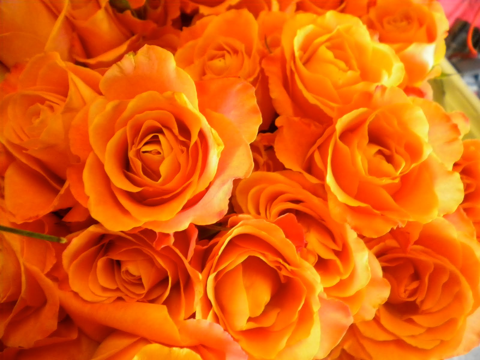 Random Interesting Topics and Photos: Meaning of rose colors