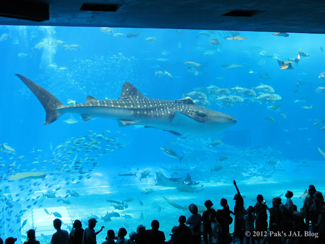 Jinbei shark with live sharsuckers at Okinawa Churaumi Aquarium
