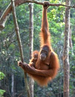 orangutan hang on the tree