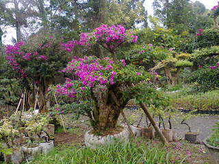 Bonsai bougenville bunga ungu | Landscaping And Modern Lifestyle