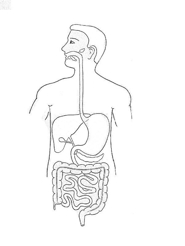 outline of human digestive system diagram