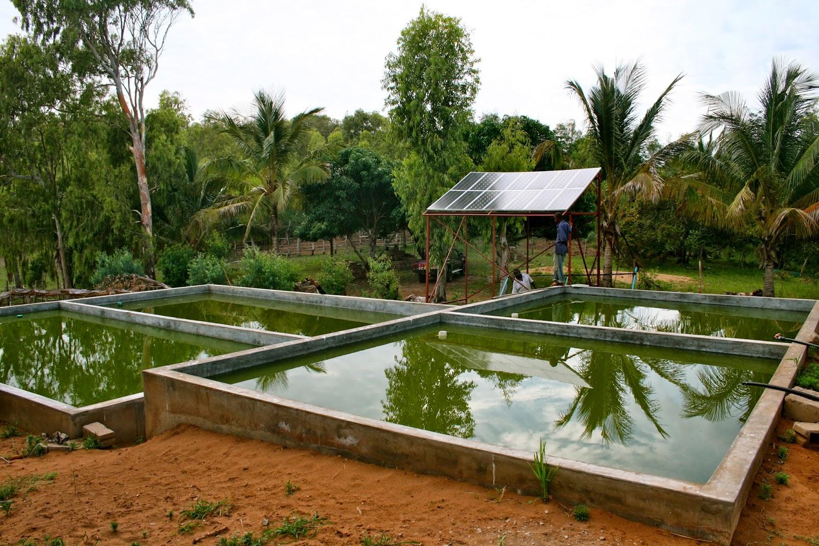 Tilapia or catfish farming can be done zimbabwe farming for Fish farming business
