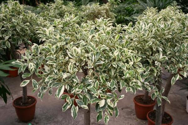 Peces y plantas ornamentales ficus benjamina ficus de - Arboles de interior con poca luz ...