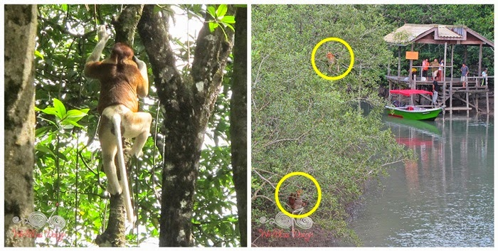 Bako National Park - Proboscis Monkey - WireBliss