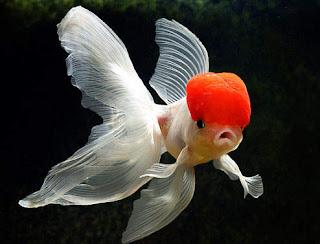 Ikan Mas Koki Merawat Dan Membudidayakan Ikan Mas Koki