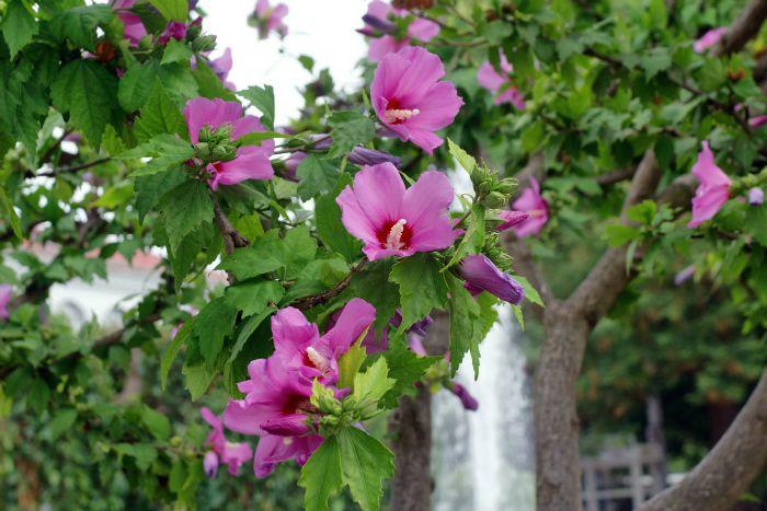 rosa de Siria