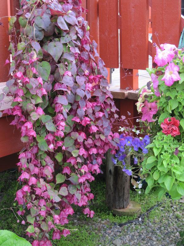 primulas hage: Blomster i krukker og kasser 1. juli