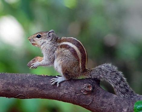 Cute Zebra Style Squirrel