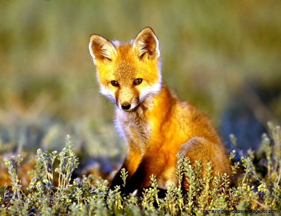 Fox Animal HD Wallpaper  Red Fox Animal Pictures  Cool Wallpapers