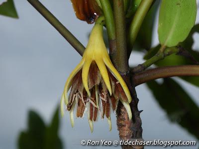 Tumu Putih (Bruguiera sexangula)