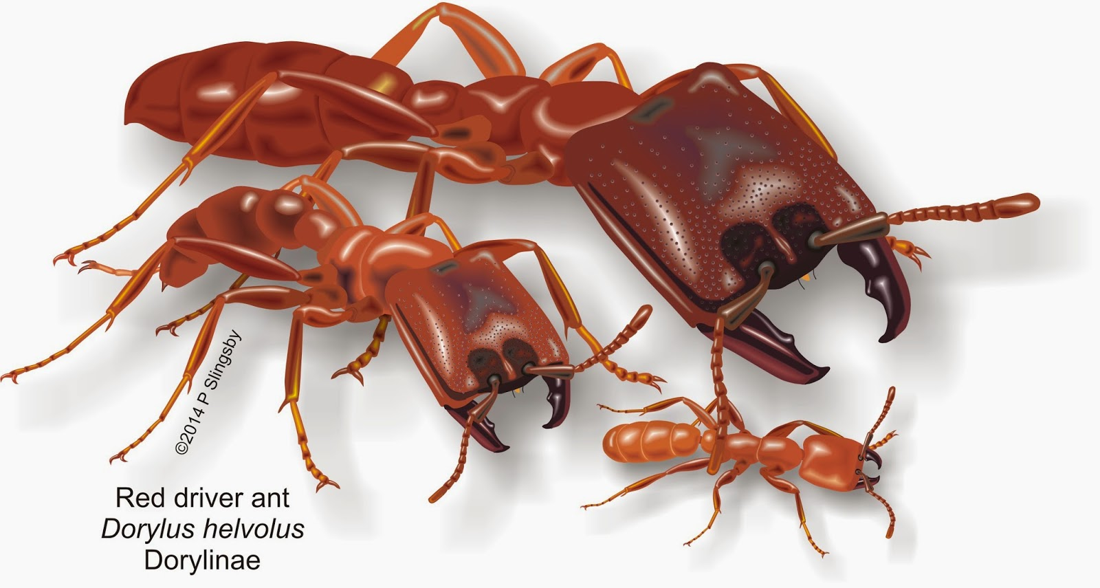 Ants of Southern Africa -: Dorylus helvolus: the Red Driver ant