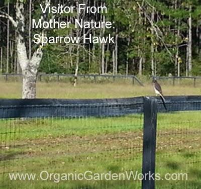 A sparrow hawk pays us a visit