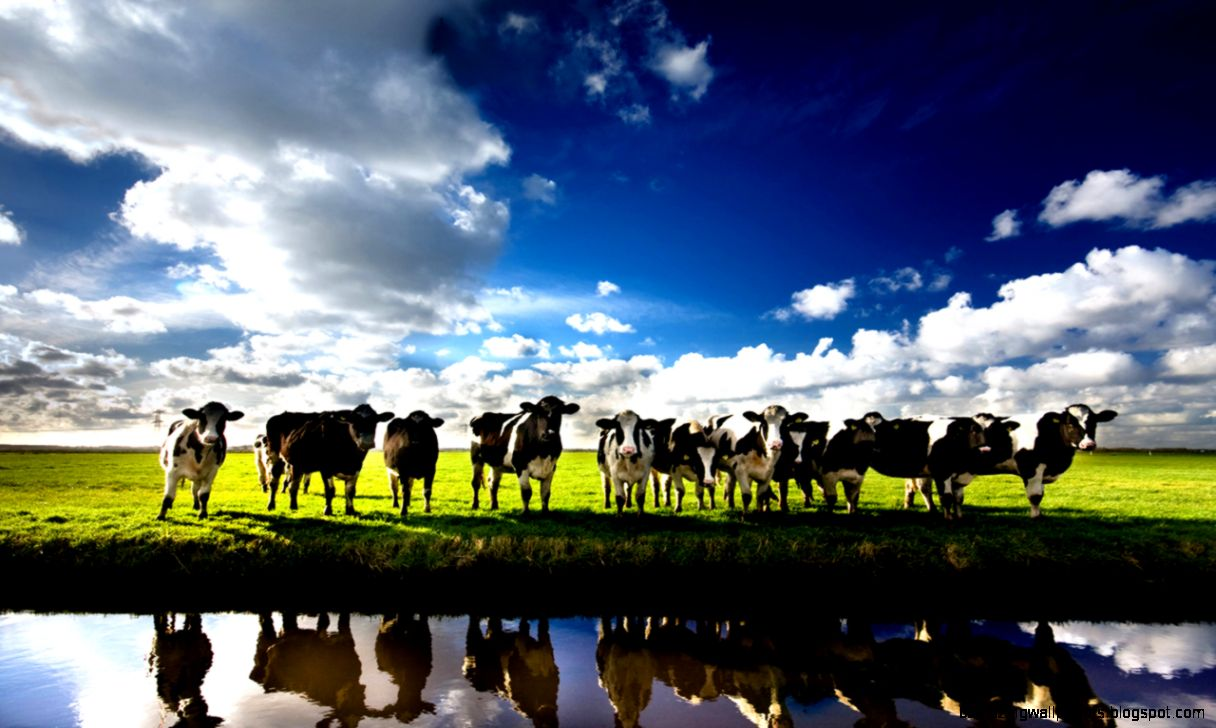 Dairy Cow Wallpaper Amazing Wallpapers
