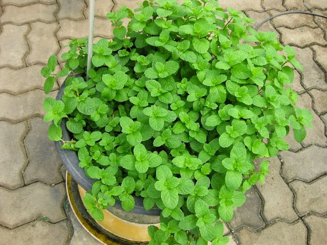 Hierbabuena (Mentha spicata)