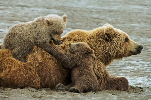 grolar bear cubs