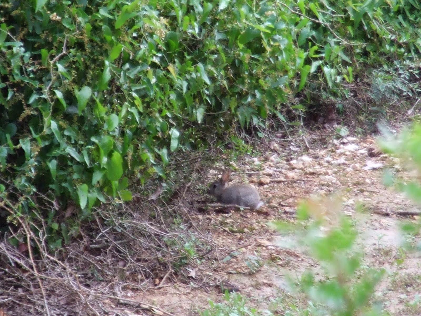 Conejo en Baronia