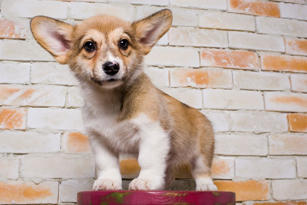 14. Como the welsh corgi