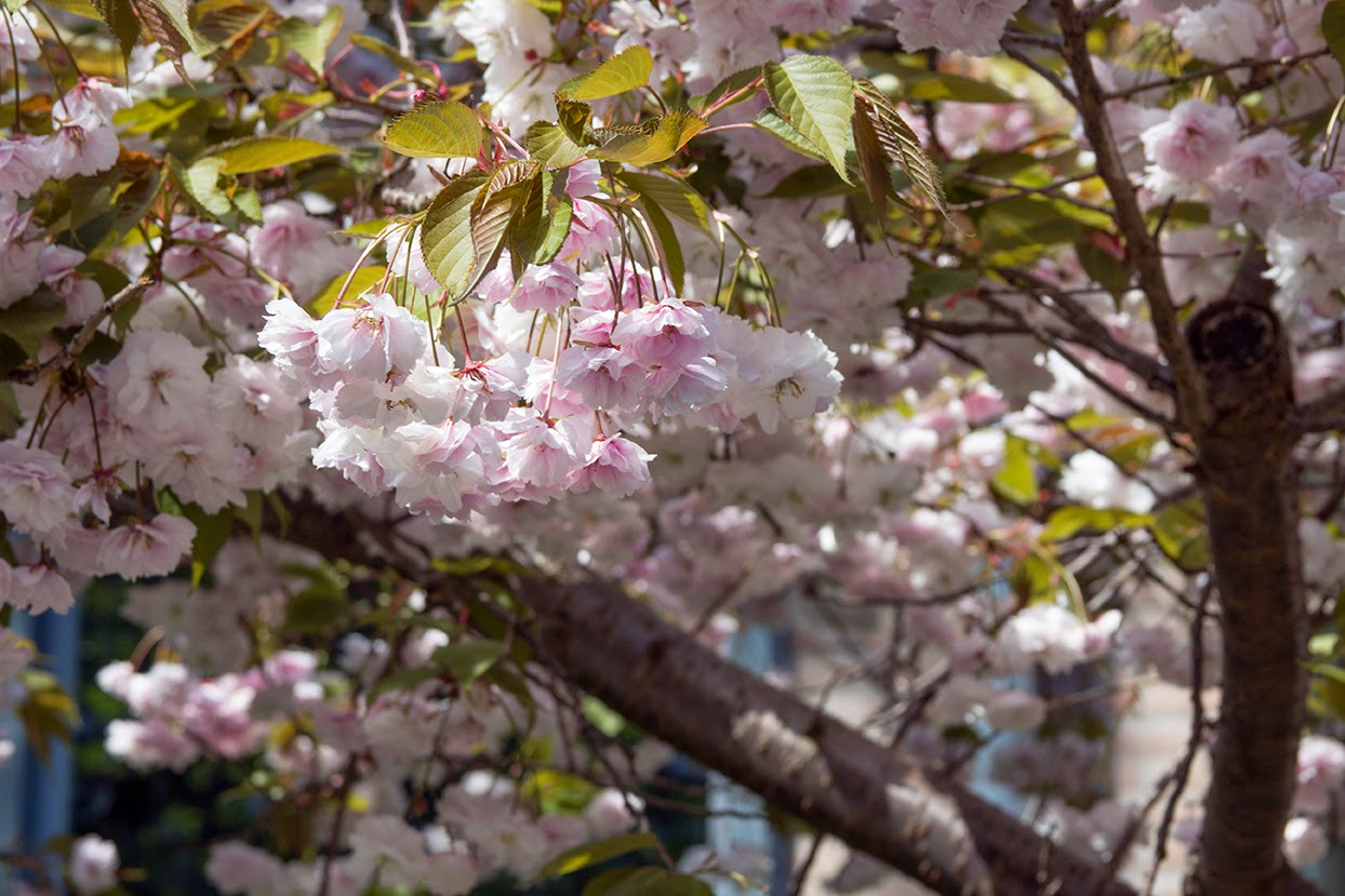 pink cherry blossoms and two branches