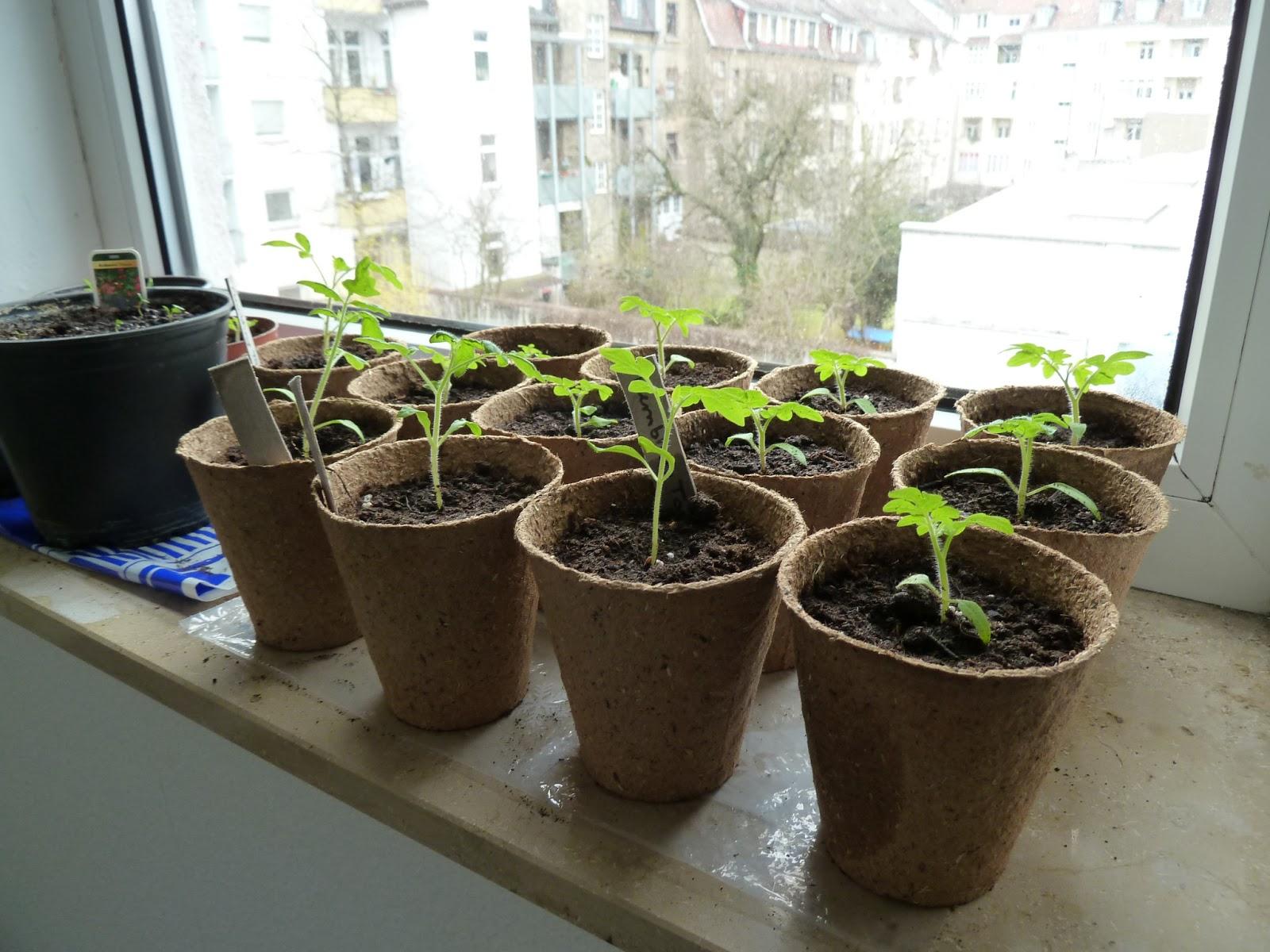 gem se naschen entwicklung der tomatenpflanzen. Black Bedroom Furniture Sets. Home Design Ideas