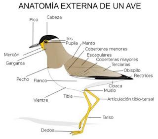 Anatomía externa de un ave - Fauna Iberica - Fauna Española - http://spanishfauna.blogspot.com.es