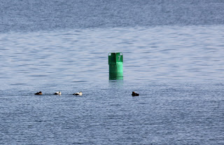 eiders near buoy