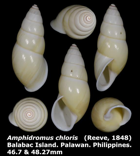 Amphidromus chloris 46.7mm (Lemon white form)