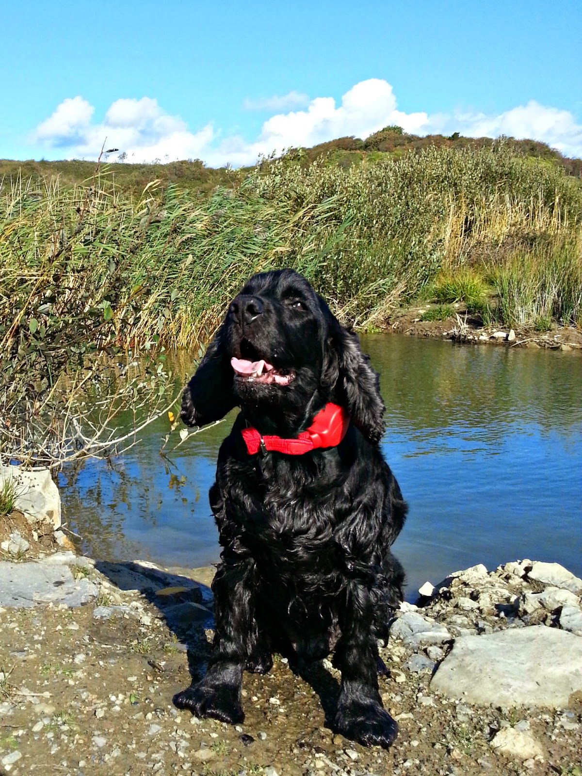 Doddle for Dogs lead for cocker spaniels