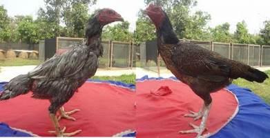 Tips Cara Memilih Ayam Babon Yang Bagus untuk Indukan ...
