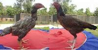 gambar ayam bangkok betina