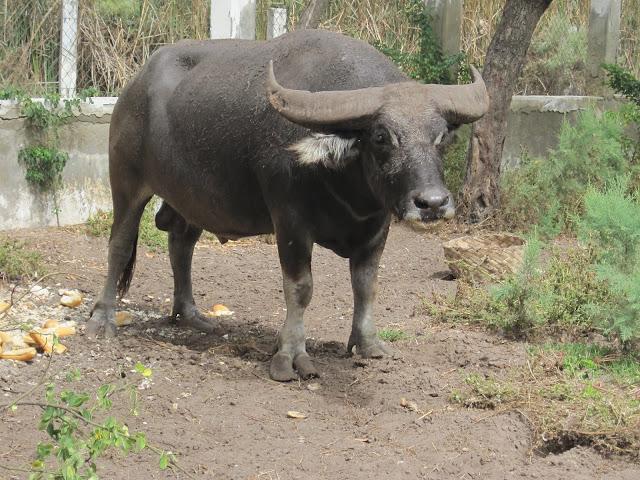 Búfalo del Zoo de Dakar