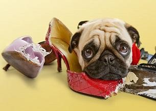 Gặm phá đồ trong nhà. Chó, đặc biệt là chó con, thích khám phá thế giới với miệng của chúng. Chúng thích nhai vì nó làm dịu chúng. Nhưng chúng phá hoại và có thể dẫn đến ăn những thứ không nên - như vớ có thể gây tắc ruột. Hãy cho chó của bạn nhai đồ chơi...