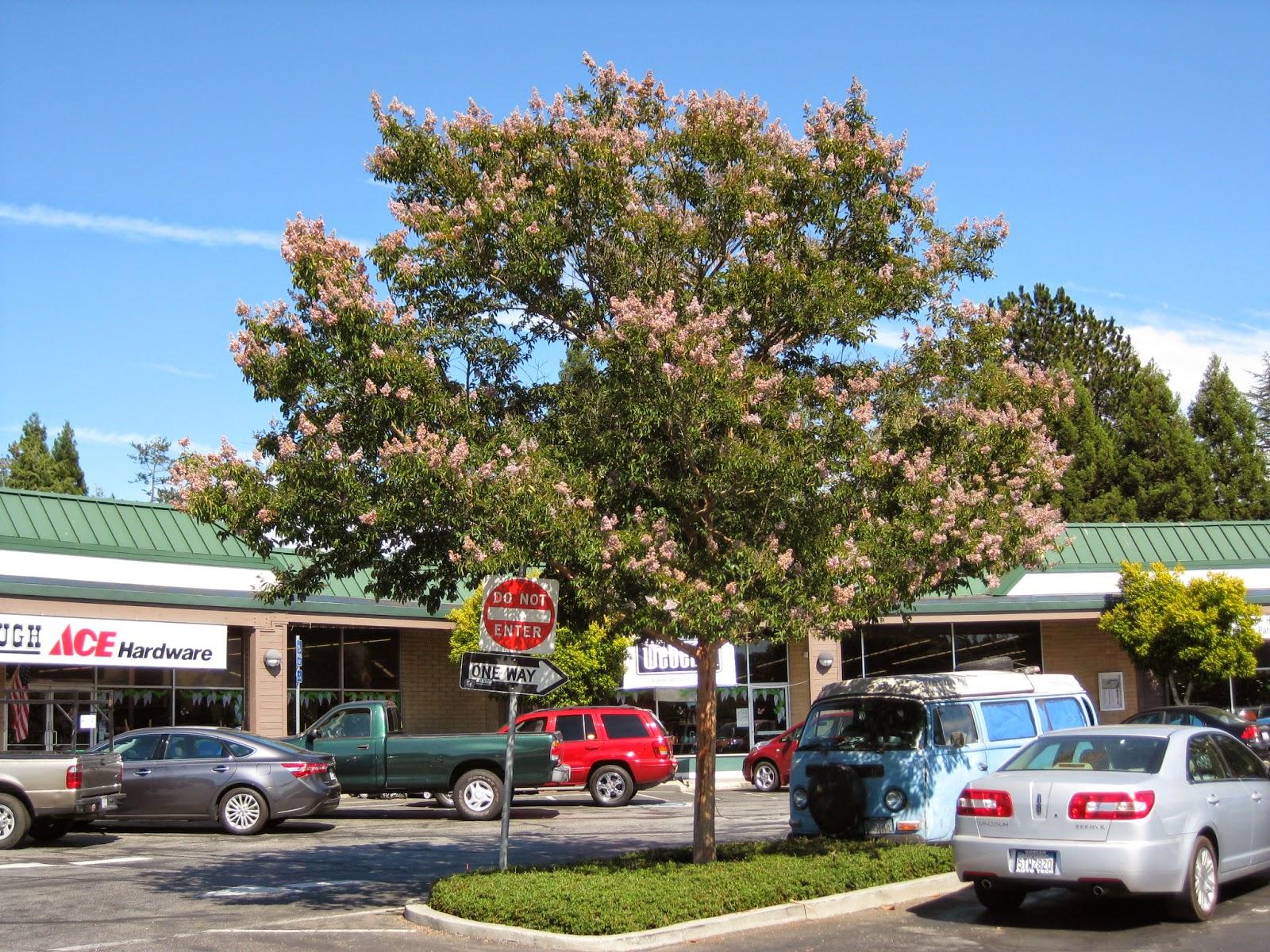 Trees of santa cruz county lagerstroemia crape myrtle for Cactus exterieur resistant au froid