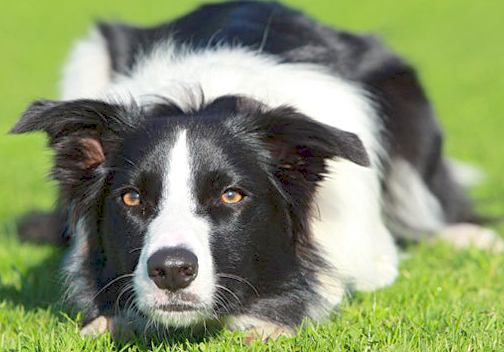 Border Collies Protect Beaches From Polluting Sea Gulls