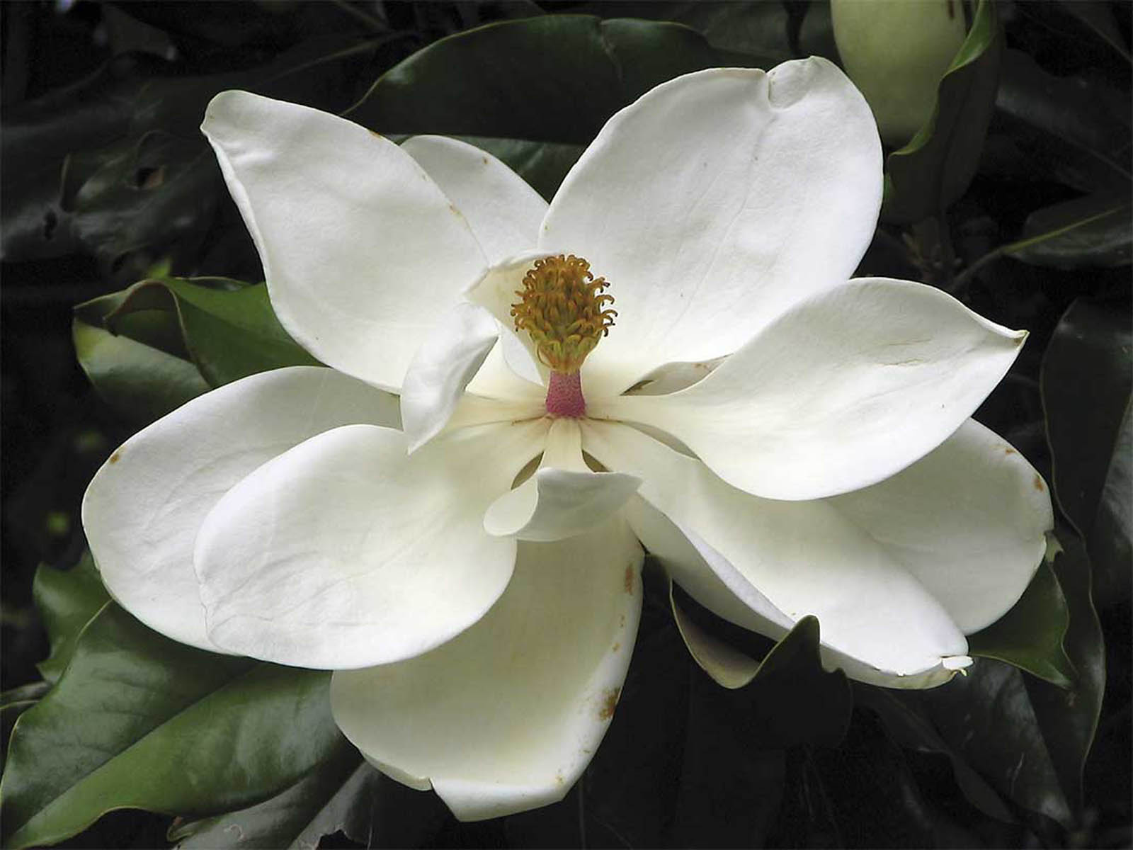 are watching the southern magnolia flower wallpapers southern magnolia ... Magnolia